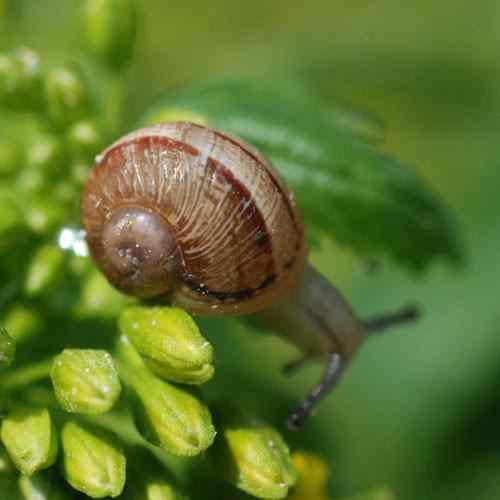 Escargots sur une feuille Com' à la ferme l'escargotière du Choquel