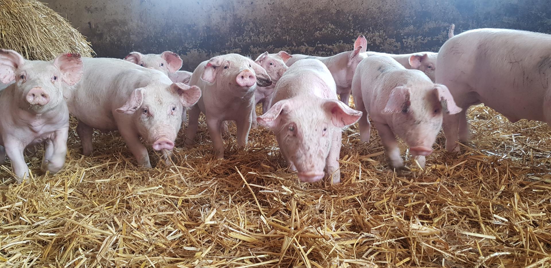 Porcs fermier eleves sur paille steenwerck