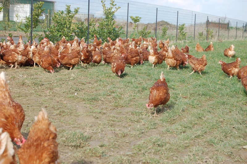 oeufs fermiers com a la ferme 59 62 lille la bassee fournes en weppes 77 800x600 caf